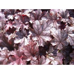 Heuchera Black Berry