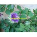 Cobée Scandens violette