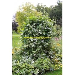 acheter des plantes annuelles grimpantes pour les jardins fleury horticulture. Black Bedroom Furniture Sets. Home Design Ideas
