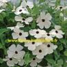 Thumbergia blanc oeil noir
