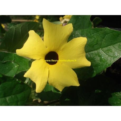 Thumbergia jaune