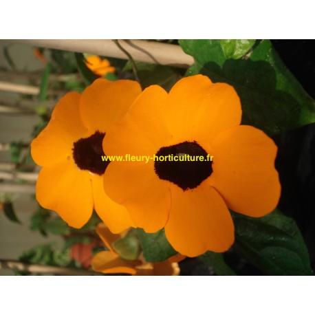 Thumbergia orange coeur noir