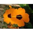 Thumbergia orange Beauty