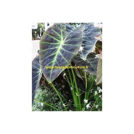 Colocosia Illustris