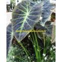 Colocasia Illustris