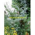 Eucalyptus Gunii Silver Drop