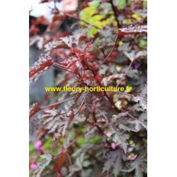 Hibiscus Mahogany Splendor