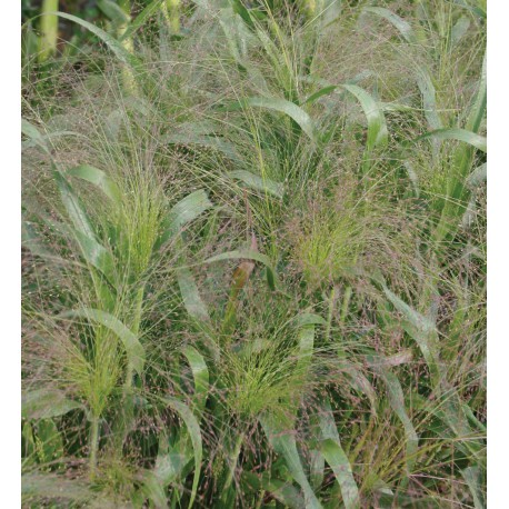 Panicum Frosted Explosion