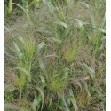 Panicum Elegans Frosted Explosion
