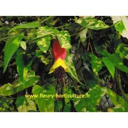 Abutilon Flowersun panaché