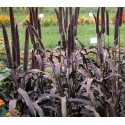 Millet Purple Majesty