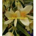 Begonia Bonaparte jaune