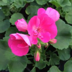Géranium Zonal rose vif