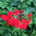 Géranium lierre décora rouge