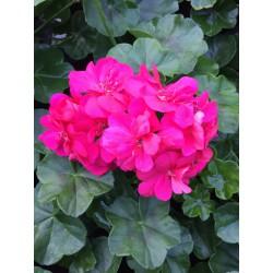 Lierre Double rose fushia