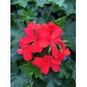 Géranium lierre balcon rouge