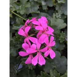 Lierre Balcon lilas