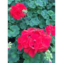 kit pour jardini re m lange de g raniums fleury horticulture. Black Bedroom Furniture Sets. Home Design Ideas