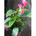 Begonia Dragon Wing rose