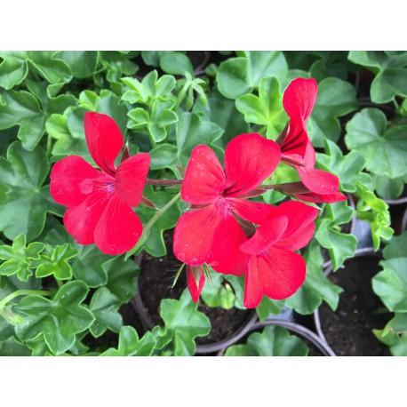 Géranium Costa Daurada Single rouge