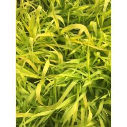 Phalaris Arundinacea Pure Gold