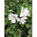 Géranium lierre Gendish Rainbow blanc