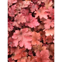 Heuchera Red Furry
