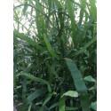 Muehlenbeckia Platyclados