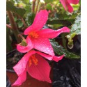 Begonia Bonaparte rose