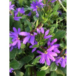 Scaevola Saphira bleu