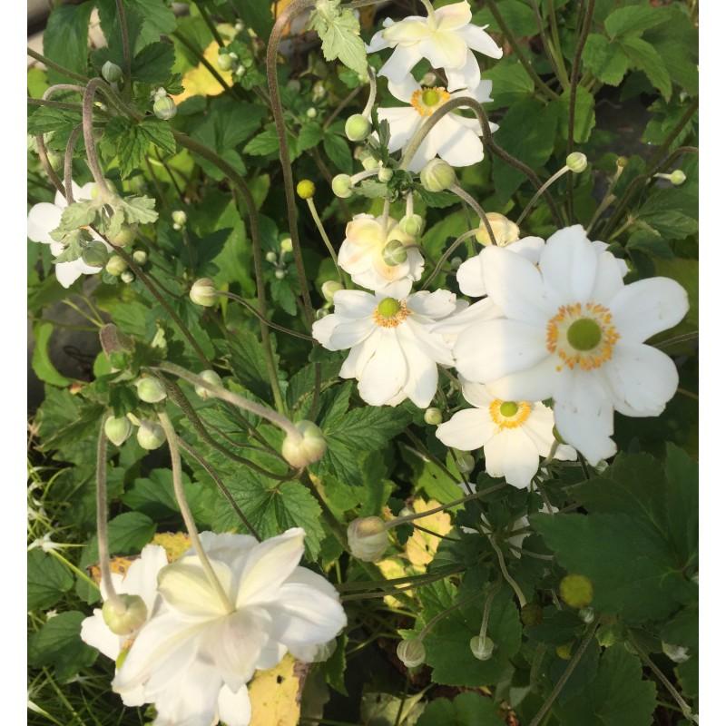anemone honorine jobert fleury horticulture. Black Bedroom Furniture Sets. Home Design Ideas