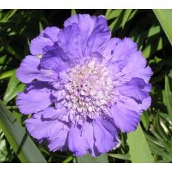 Scabieuse Causasica Perfecta blue