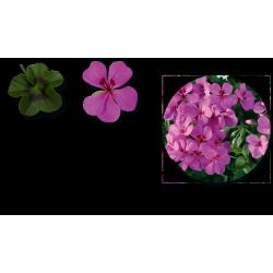 Lierre Gendish Rainbow amethyst