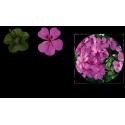 Géranium lierre Gendish Rainbow amethyst
