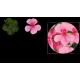 Lierre Gendish Rainbow rose