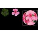 Géranium lierre Gendish Rainbow rose