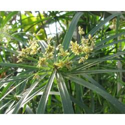 Papyrus Cyperus Alternifolius