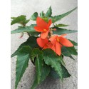 Begonia Bonaparte orange