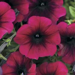 Petunia Easy Wave Burgundy velours