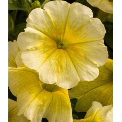 Petunia Easy Wave jaune