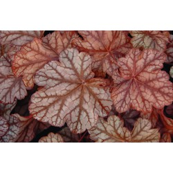 Heuchera Frosted Flame