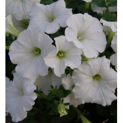 Petunia Easy Wave blanc
