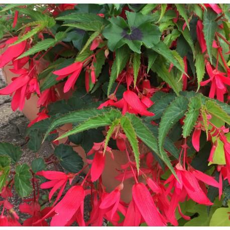 Begonia Bonaparte rouge