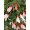 Begonia Bonaparte blanc