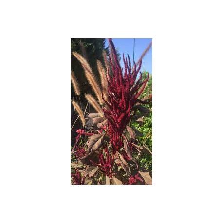 Amarante Paniculée Aiguille rouge
