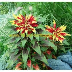 Amarante Tricolor Splendens Perfecta