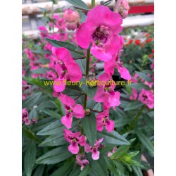 Angelonia Angelface rose