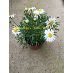 Anthemis blanche