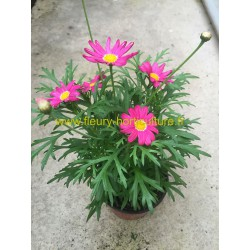 Anthemis Daisy Bubble Gomme rose
