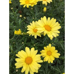Anthemis Butterfly  jaune